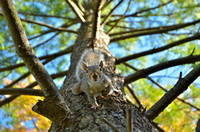 Gray Squirrel, Fall, Foliage, WV, Wild & Wonderful, State Capitol