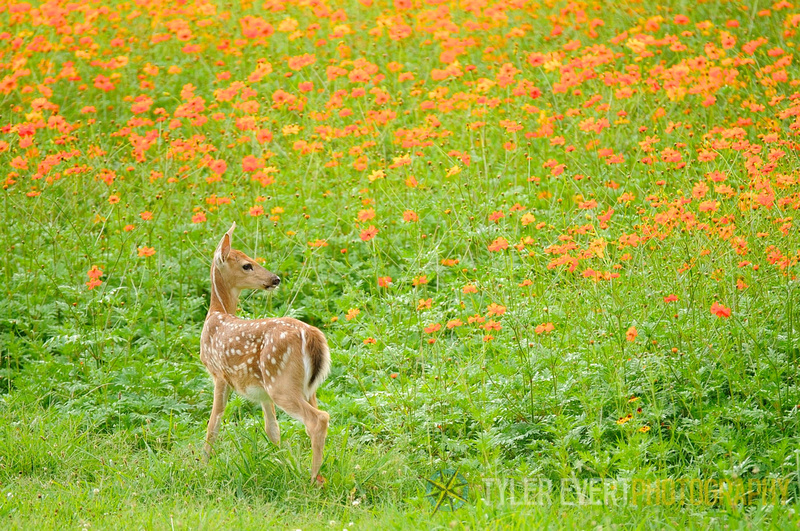Tyler Evert Photography: The West Virginia Collection &emdash; Flower Fawn